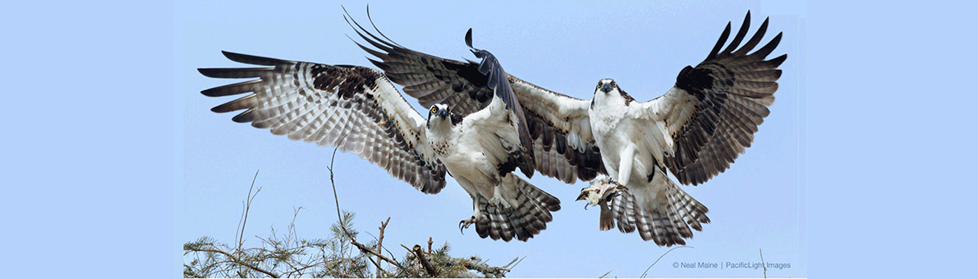 Osprey pair wrap 1400x400