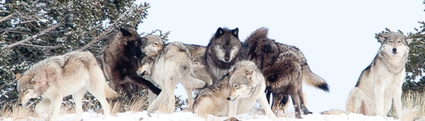 wolf country the pack body postures and social structure - 1200×500